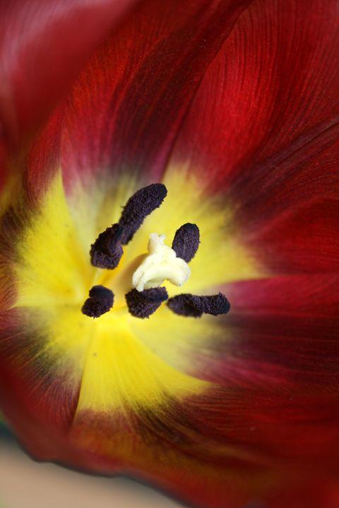 Tulip 02R - AtelierVision
