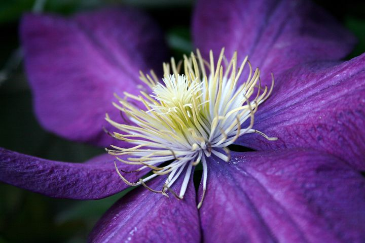CLEMATIS 02 - AtelierVision