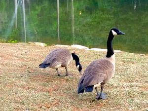 Geese Near Water
