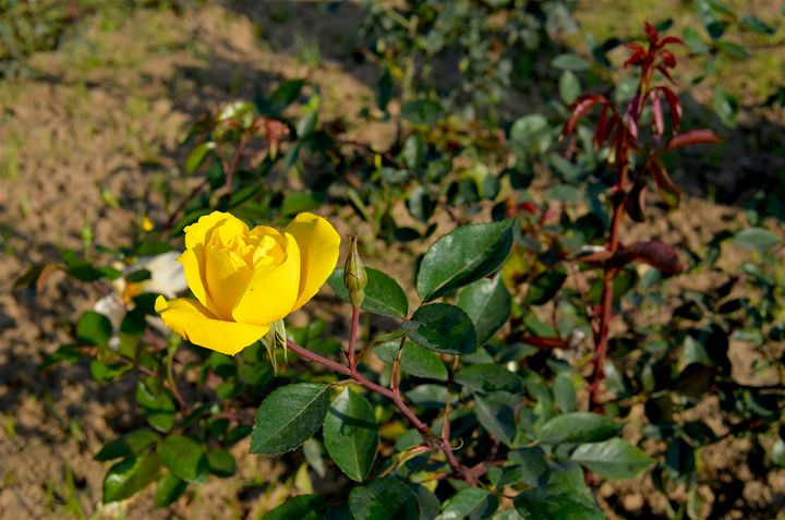 Yellow Rose - Seema Kumar