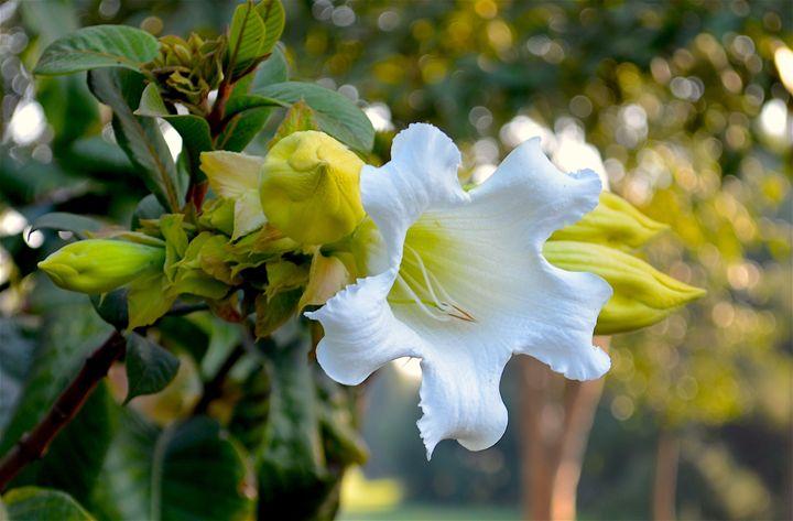 White Flower - Seema Kumar
