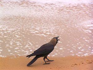 Crow on a Sea Beach