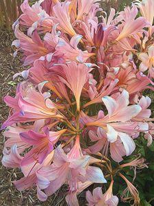 Amaryllis Belladona Photo Painting - bloomingvinedesign