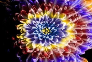 Rainbow Chrysanthemum