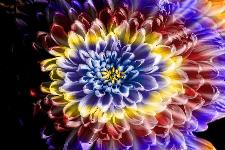 Rainbow Chrysanthemum - Artofmine