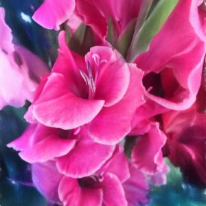 Dark Pink Gladiolas