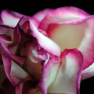 Pink Lined White Rose