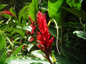 Tropical Wild Ginger