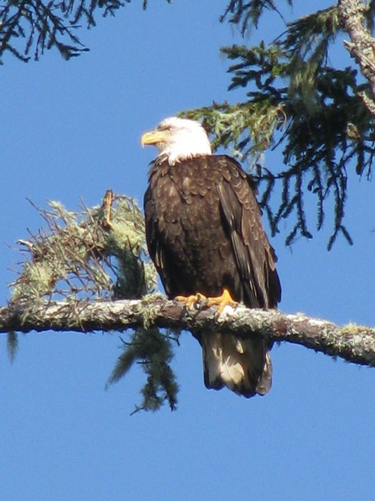 Bald Eagle on Lookout - Yvonne Poirier Island Earth Photography