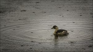 Good Weather For A Duckling? - Andy StuArt Photography