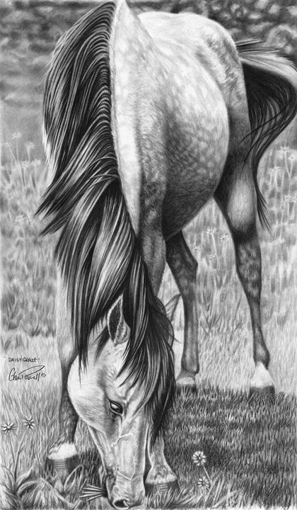 Daisy Graze - Glen Powell Fine Art Pencil Drawings
