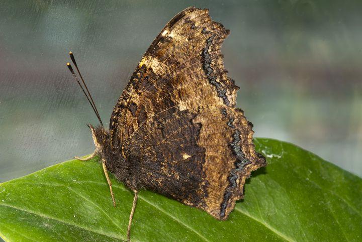 Butterfly - Igorsin Gallery