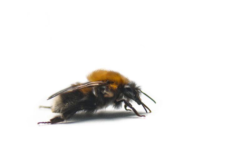 Bumblebee - Igorsin Gallery