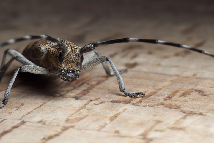 Longhorn beetle - Igorsin Gallery