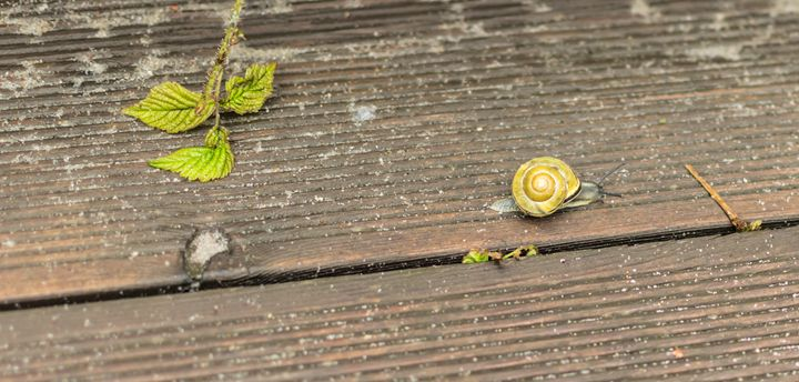 snail crawling on a wooden surface - Aleksei lomanov