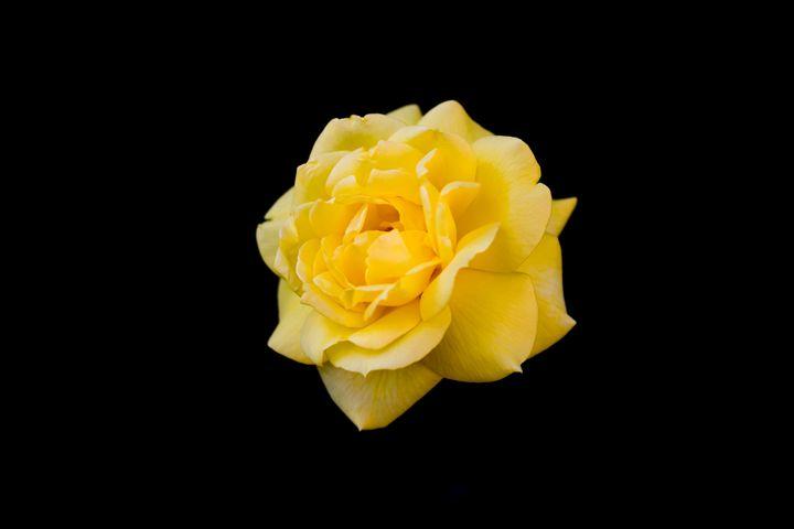 yellow rose on black background only - Aleksei lomanov