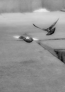 Pigeon Fly - Boris