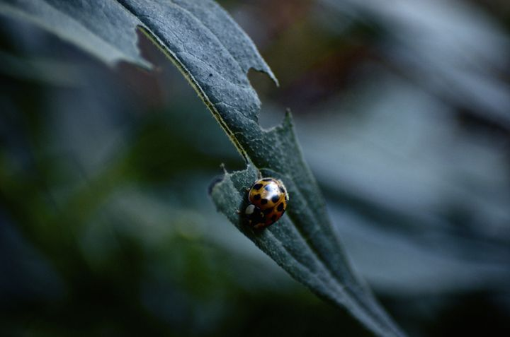 Ladybug on a Leaf - Travis Baars Photography