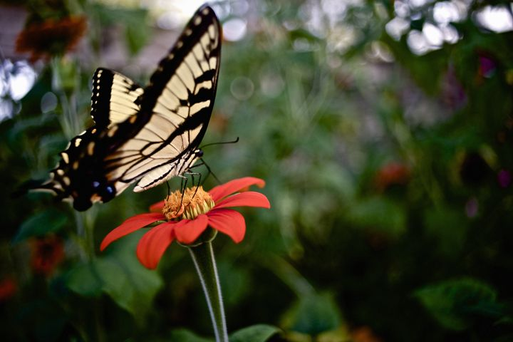 Butterfly on a Flower - Travis Baars Photography
