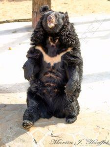 Black Bear sitting down