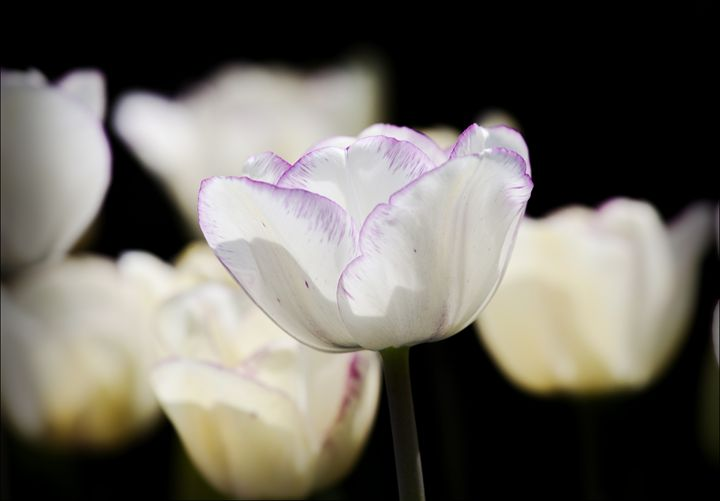 Tulips - Robert Daniel Ullmann Fine Art Photography
