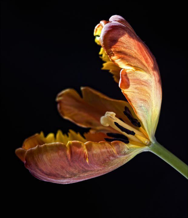 Parrot Tulip - Robert Daniel Ullmann Fine Art Photography