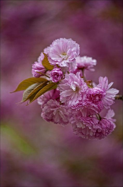 Cherry Blossoms - Robert Daniel Ullmann Fine Art Photography