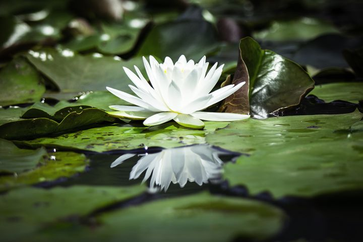 Reflections of a Water Lily - Photography by Aileen Keil