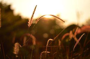 sunset wheat field