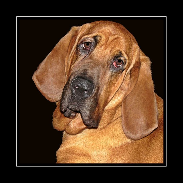 Bloodhound Portrait PhotoArt - PhotoArt By Darla