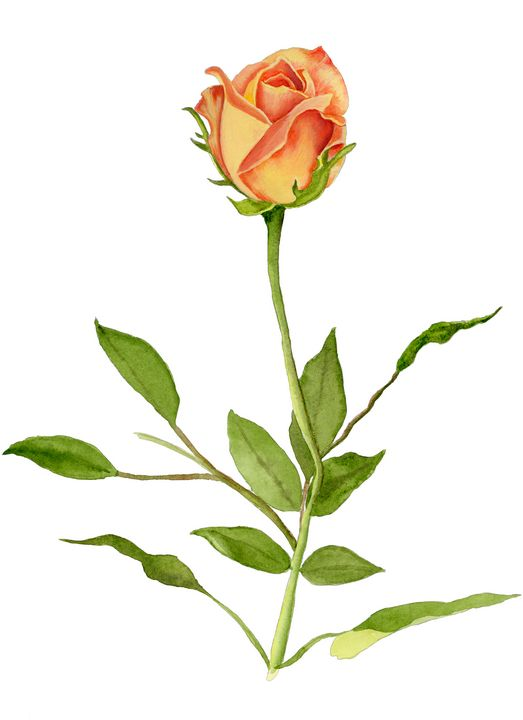 Just a Single Yellow-orange Rose - Roxie Colors