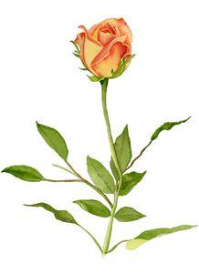 Just a Single Yellow-orange Rose