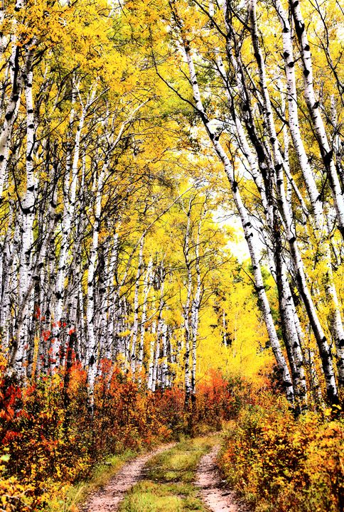 Trail through Aspen grove - Fine Art Photography