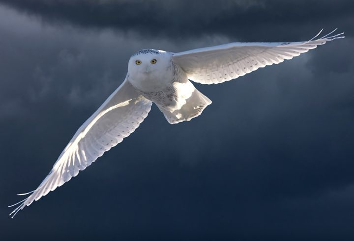 Snowy Owl in Flight - Fine Art Photography