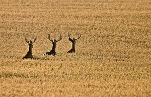 Mule Deer in Wheat Field - Fine Art Photography