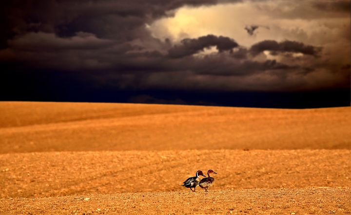 Northern Pintail pair - Fine Art Photography