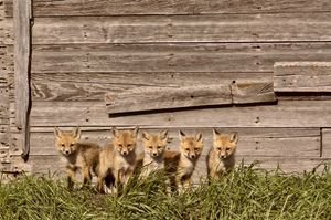 Fox Kits - Fine Art Photography