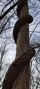 Upward vine climb