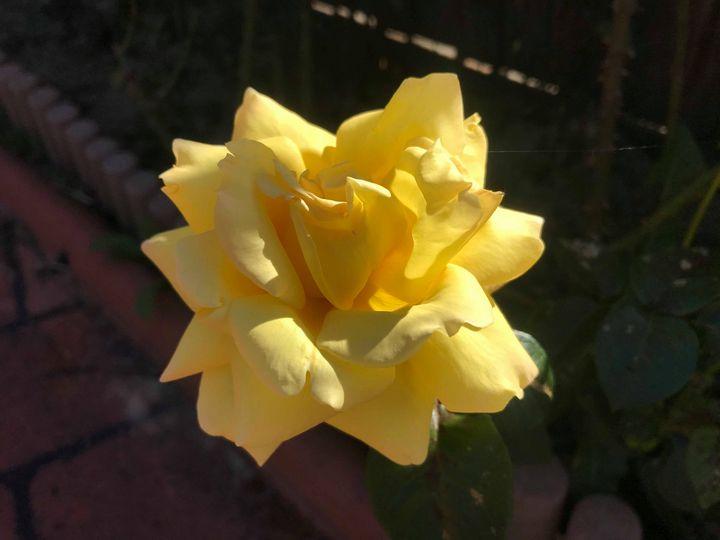 Light Yellow Bloom - Suburban Flower