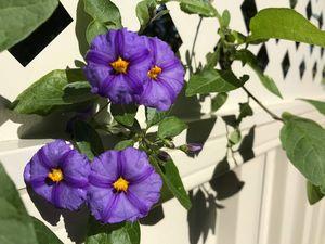 Purple Picket
