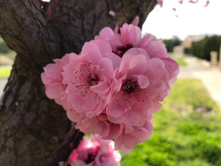 Pink Fluff - Suburban Flower