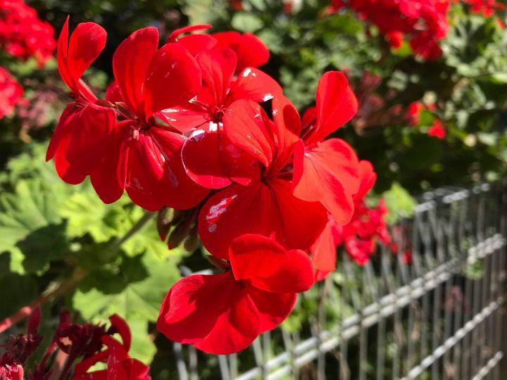 Red Free - Suburban Flower