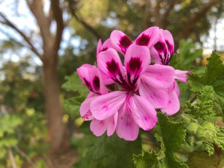 Pure Pink - Suburban Flower