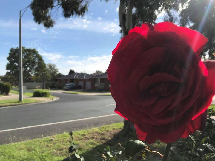 Rose Glare - Suburban Flower