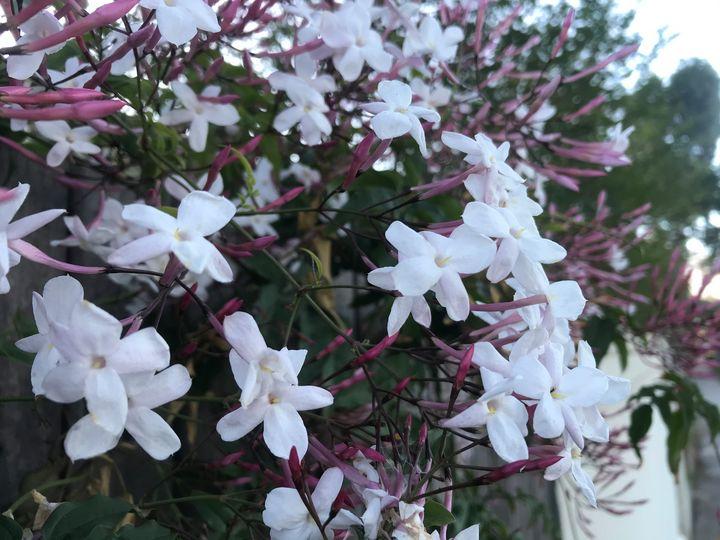 White Blush - Suburban Flower