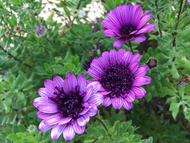 Purple Haze - Suburban Flower