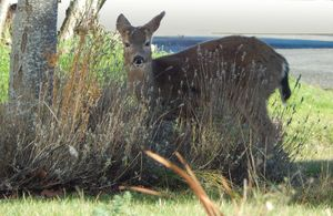Deer At A Glance - Photos by Vern Daniels