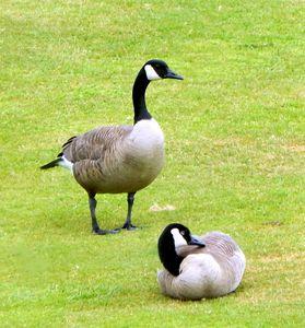 Ducks on the Green