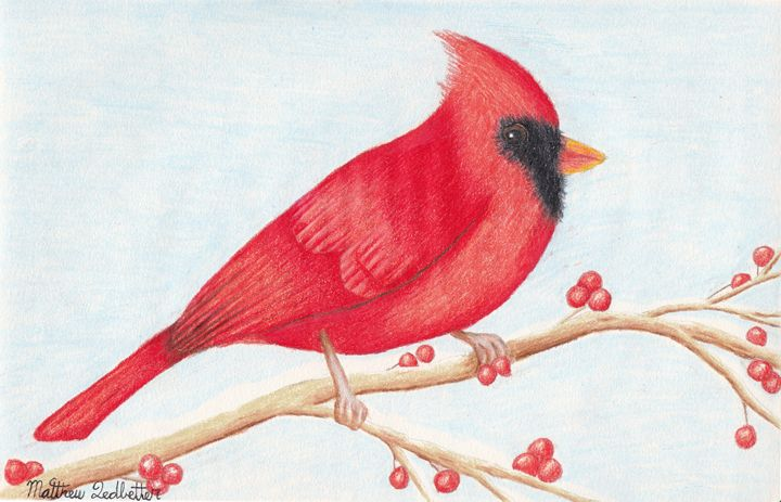 Cardinal on berry tree limb - Matthew Ledbetter