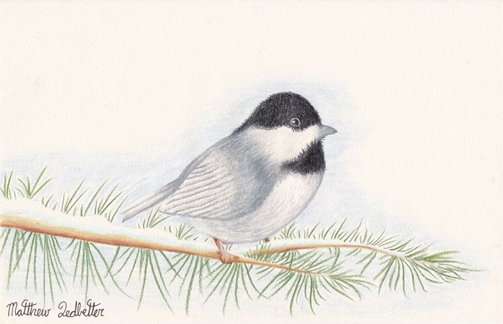 chickadee on a pine limb - Matthew Ledbetter